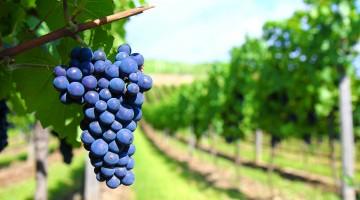uvas syrah pinot noir cabernet sauvignon malbec merlot