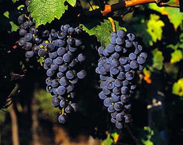 cabernet_sauvignon_grapes